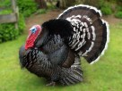 Ayam kalkun bronze