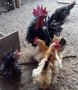 Ayam Kate Walik yang Unik Bisa Menjadi Tambahan Koleksi Ayam Hias Anda