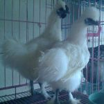 IMG 20140801 WA0008  Jual Ayam Hias HP : 08564 77 23 888 | BERKUALITAS DAN TERPERCAYA  Galeri Foto