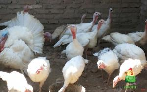 Ayam Kalkun Putih atau White Holland Turkey wa