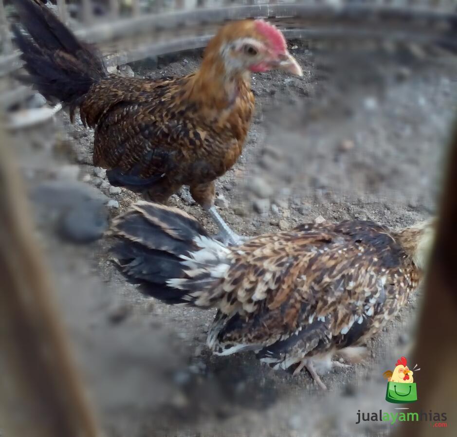 wpid ketawa 2 bulan .jpg Jual Ayam Hias HP : 08564 77 23 888 | BERKUALITAS DAN TERPERCAYA Ayam Ketawa Umur 2 Bulan Siap Kirim ke Tegal