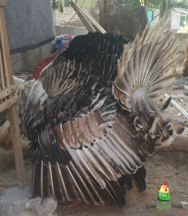 Ayam Kalkun Golden Palm Jantan
