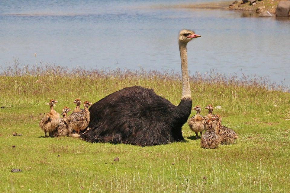 Burung unta dikenal sebagai burung terbesar di dunia