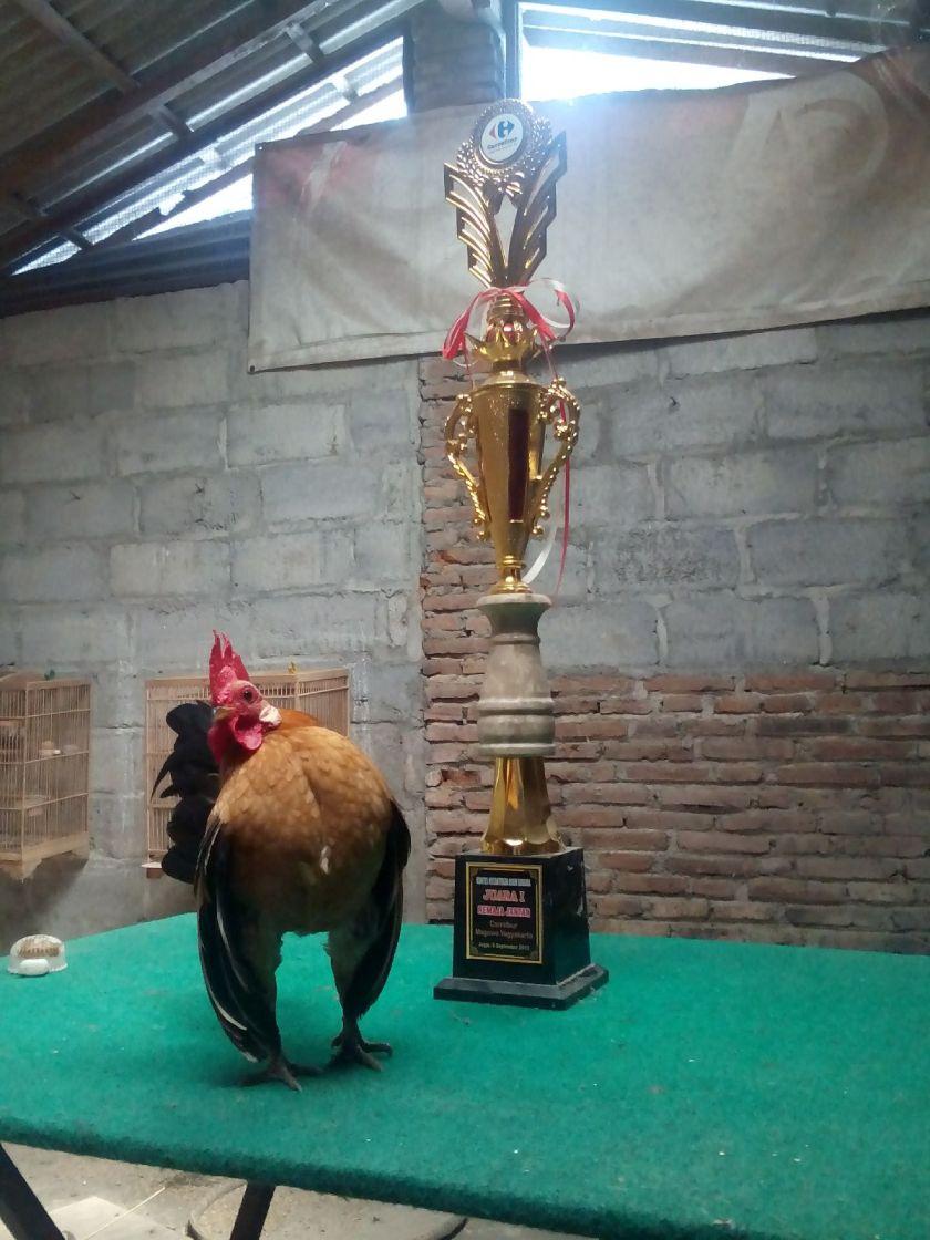 Cara Merawat Ayam Serama Untuk Kontes