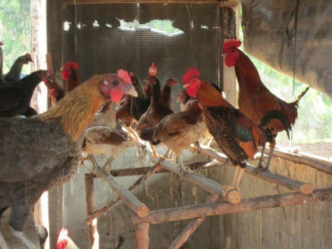 Ayam Kampung 2 Jual Ayam Hias HP : 08564 77 23 888 | BERKUALITAS DAN TERPERCAYA 6 Kelebihan Berbudidaya Ayam Kampung