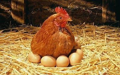 Ayam Sedang Mengeram