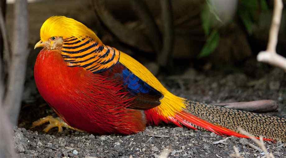 Golden Pheasant salah satu ayam pheasant yang cukup populer di Indonesia
