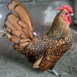 Ayam Batik Kanada Indukan  Jual Ayam Hias HP : 08564 77 23 888 | BERKUALITAS DAN TERPERCAYA  Galeri Foto