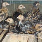 Ayam Batik Kanada Umur 2 Bulan  Jual Ayam Hias HP : 08564 77 23 888 | BERKUALITAS DAN TERPERCAYA  Galeri Foto
