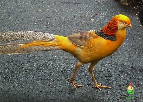 jenis ayam ringneck