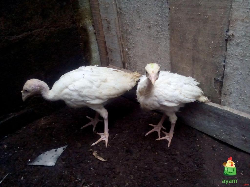Ayam Kalkun Royal Palm Umur 2 Bulan Pesanan Bapak Wirza di Jakarta