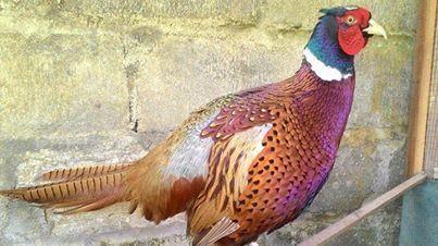 cropped Ayam Ringneck Pheasent Dewasa 4 3 jenis ayam ringneck Jual Ayam Hias HP : 08564 77 23 888 | BERKUALITAS DAN TERPERCAYA jenis ayam ringneck Jenis Ayam Ringneck Pheasant yang Dibedakan Menurut Warna Bulunya