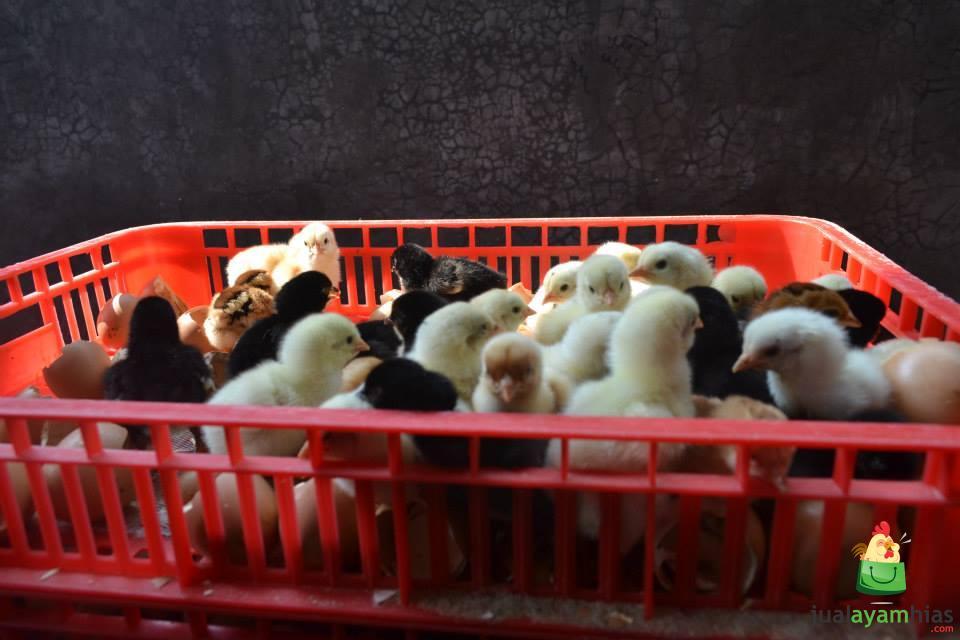 DOC atau bibt ayam joper melewati proses seleksi sebelum dikirim ke peternak. JOPER atau biasa di sebut dengan ayam kampung super adalah persilangan dari ayam bangkok pejantan dengan ayam petelur betina