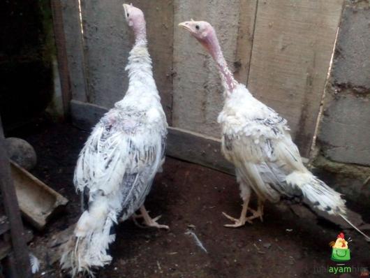 Ayam Kalkun Royal Palm Sepasang Umur 3 Bulan