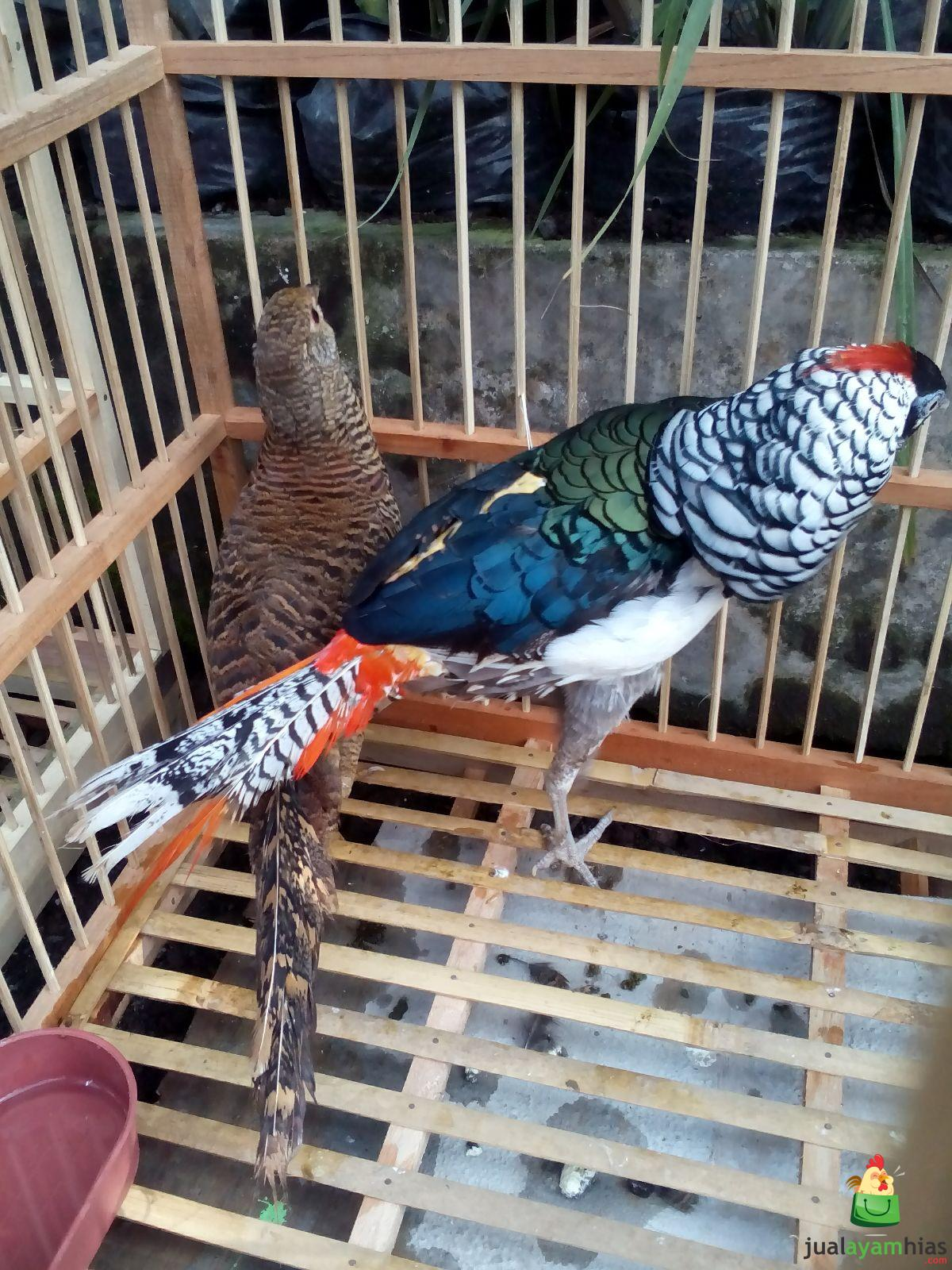 Jual Lady Amherst's Pheasent