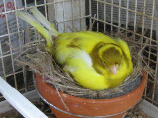 Burung Kenari Sedang Mengeram