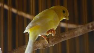 Kaki Burung Kenari Sakit