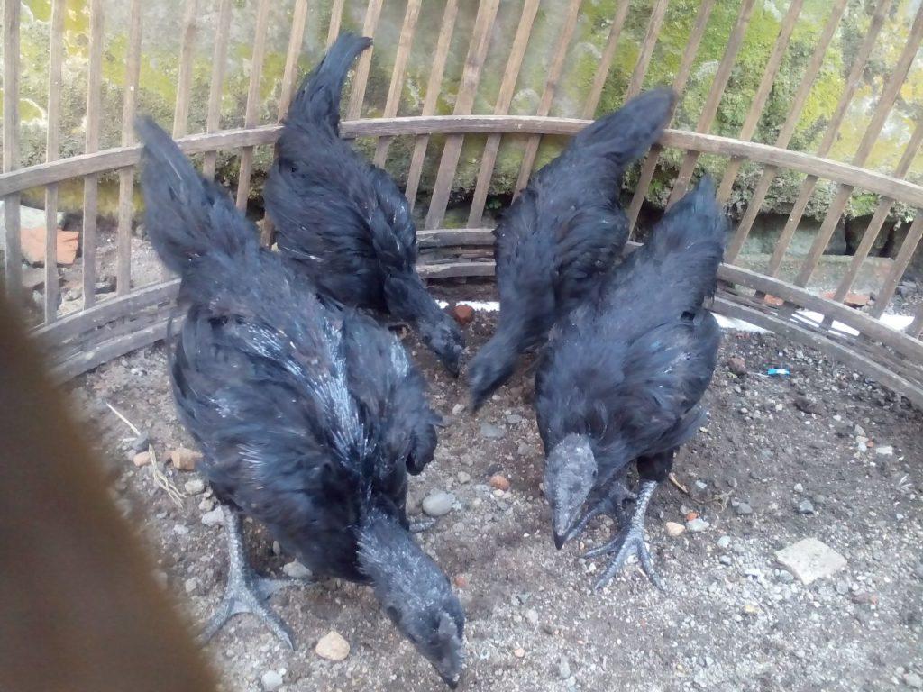 Cara Memelihara Ayam Cemani dari Anakan hingga Indukan