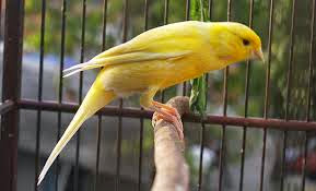 Burung Kenari AF