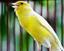 Burung Kenari Berkicau