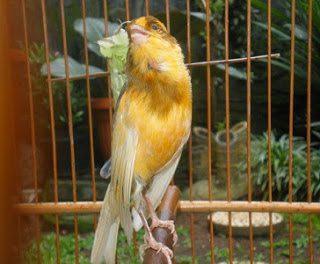 Tips Menjaga Bulu Burung Kenari Agar Tetap Mengkilap