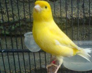 Burung Kenari Waterslager