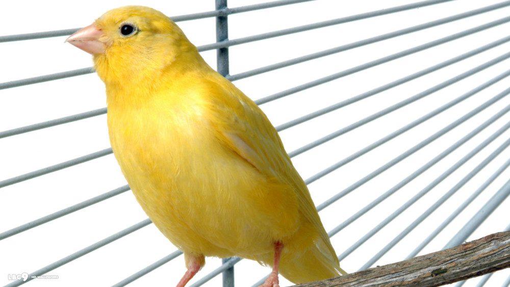 Tips Penting Perawatan Burung Kenari yang Sudah Berusia Lanjut