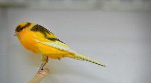 Burung kenari, cara membuat tempat pakan kenari otomatis, tempat makan dan minum kenari, tempat minum otomatis, cara membuat wadah pakan burung kenari