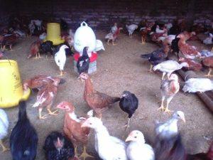 Analisis Usaha Peternakan Ayam Kampung Super