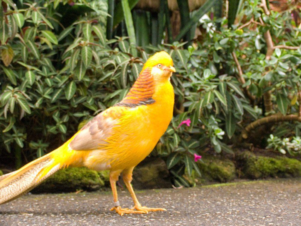 Yellow pheasant memiliki bulu berwarna kuning di bagian kepala, perut, pinggang serta ekor