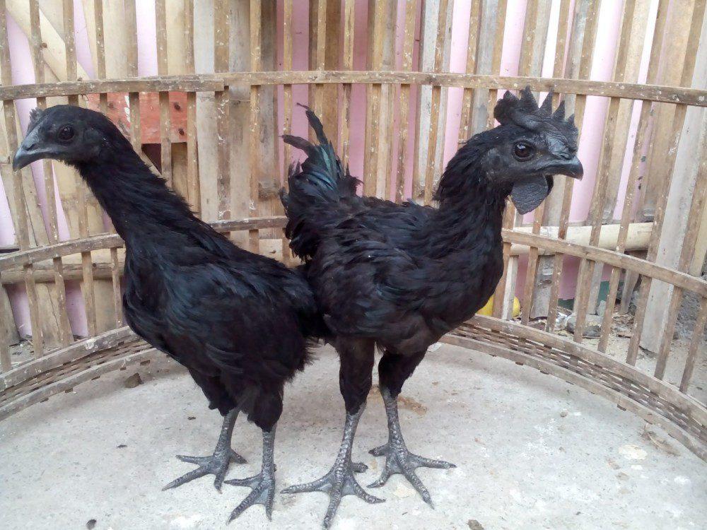 Paruh ayam cemani berwarna hitam