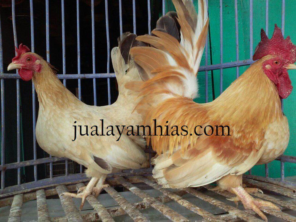 Ayam Kate Image