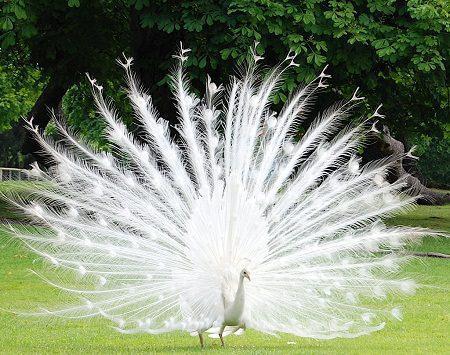 Foto Burung Merak Putih