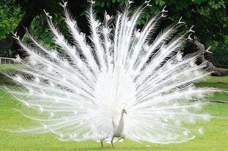 cropped Merak Putih 1  Jual Ayam Hias HP : 08564 77 23 888 | BERKUALITAS DAN TERPERCAYA  *Jual Ayam Hias