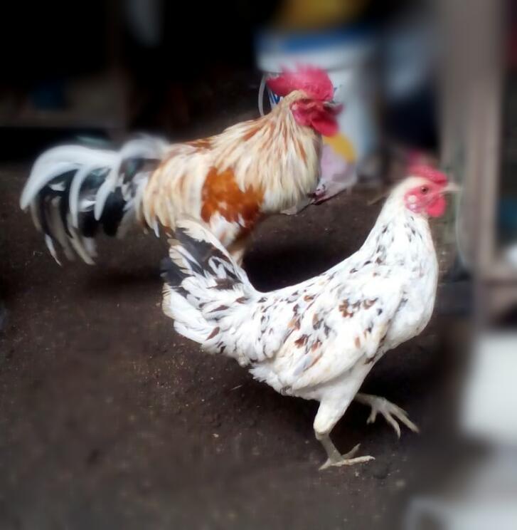 Ayam Ketawa memiliki keunikan pada bagian kokoknya yang mirip seperti ketaw manusia.