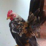 Ayam Serama Dewasa
