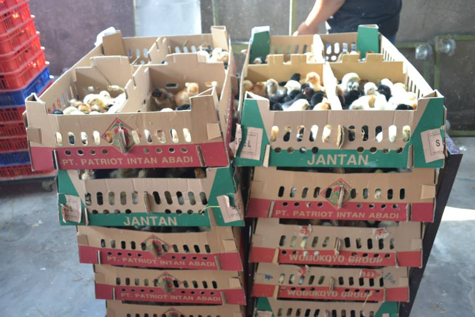 BOX DOC Ayam Kampung Super berisi 100 ekor per boknya