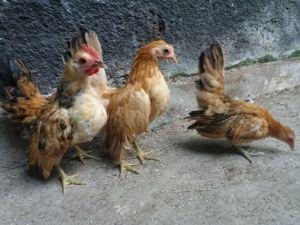 Beberapa Ayam Hias Pesanan Bapak Aang di Lampung