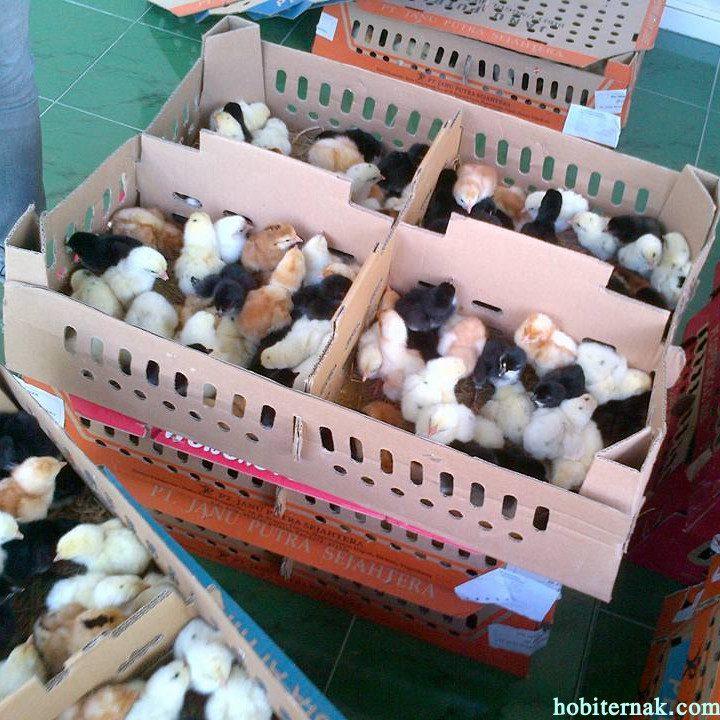 Box DOC Ayam Jawa Super