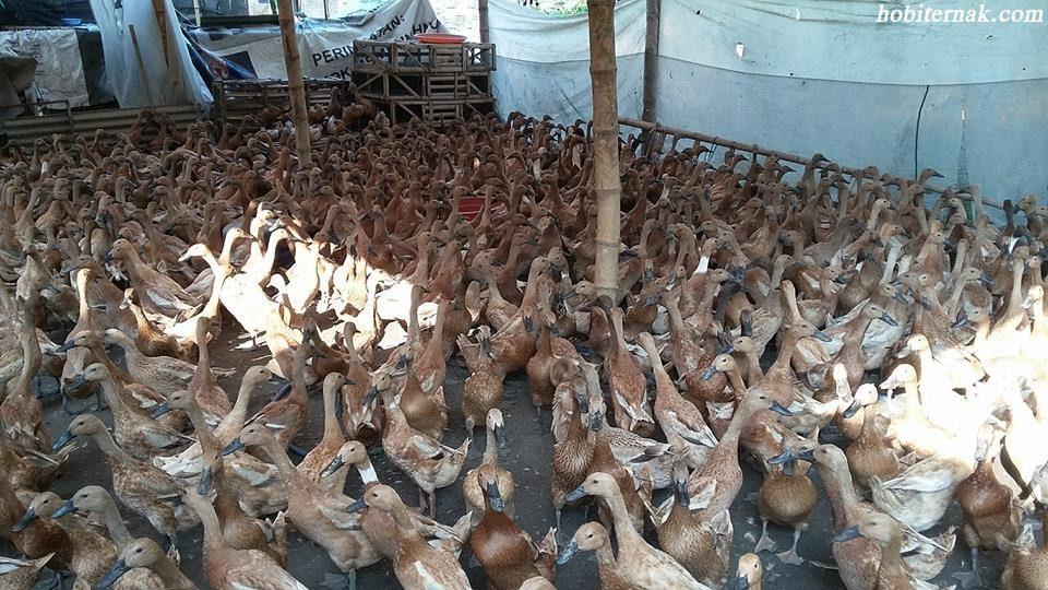 Bebek Mojosari Petelur Siap Produksi (Bayah) Image