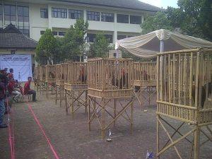 Contoh Foto Kontes Ayam Pelung