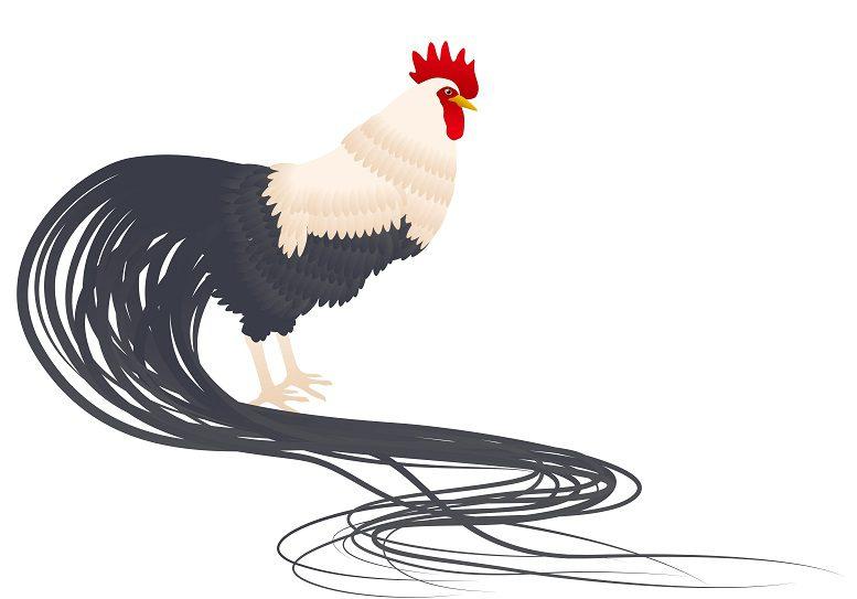 Ayam Onagadori Ternak Ayam Onagadori Jual Ayam Hias HP : 08564 77 23 888 | BERKUALITAS DAN TERPERCAYA Ternak Ayam Onagadori Ternak Ayam Onagadori Si Ayam Berekor Panjang