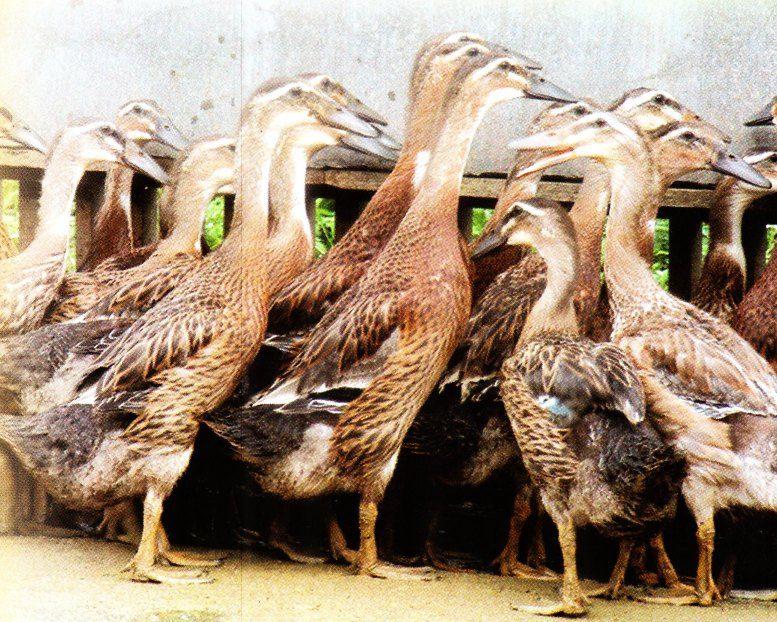 Produksi bebek ratu sekitar 260 butir/ ekor/ tahun, bentuk seragam dan tahan terhadap penyakit | Bebek Ratu