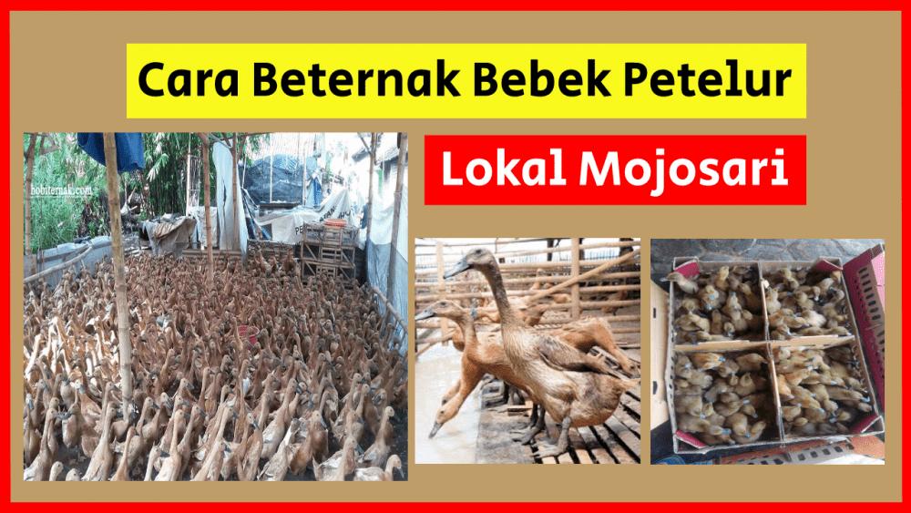 Cara Beternak Bebek Lokal Mojosari