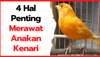 Penanganan Terhadap Burung Kenari Seusai Menetaskan Telurnya