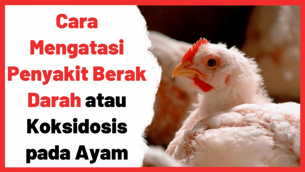 Cara Mengatasi Penyakit Berak Darah atau Koksidosis pada Ayam | Cover