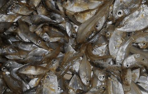 Ikan Runcah/ Ikan Kecil dapat menjadi campuran pakan pada ayam kalkun