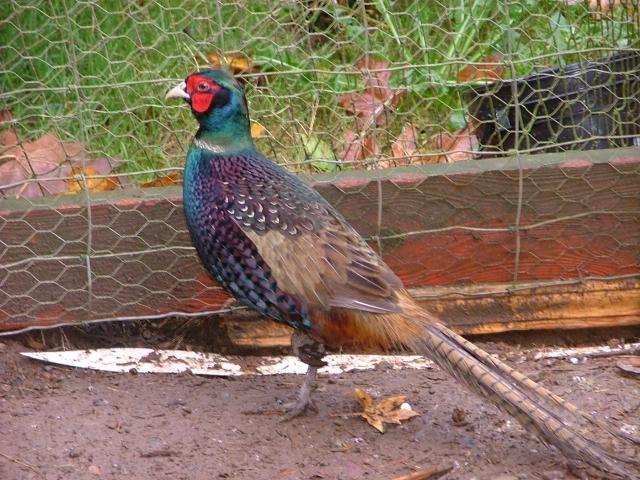 kandang pheasant sebaiknya di berikan tangkringan seperti kayu atau ranting untuk bertengger