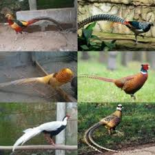 Berbagai jenis ayam pheasant di jual di Jualayamhias.com