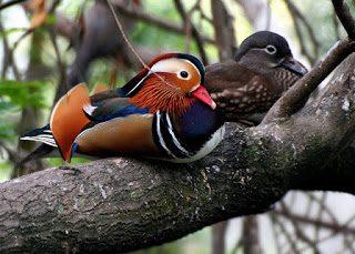 Bebek mandarin suka bertengger ke pepohonan